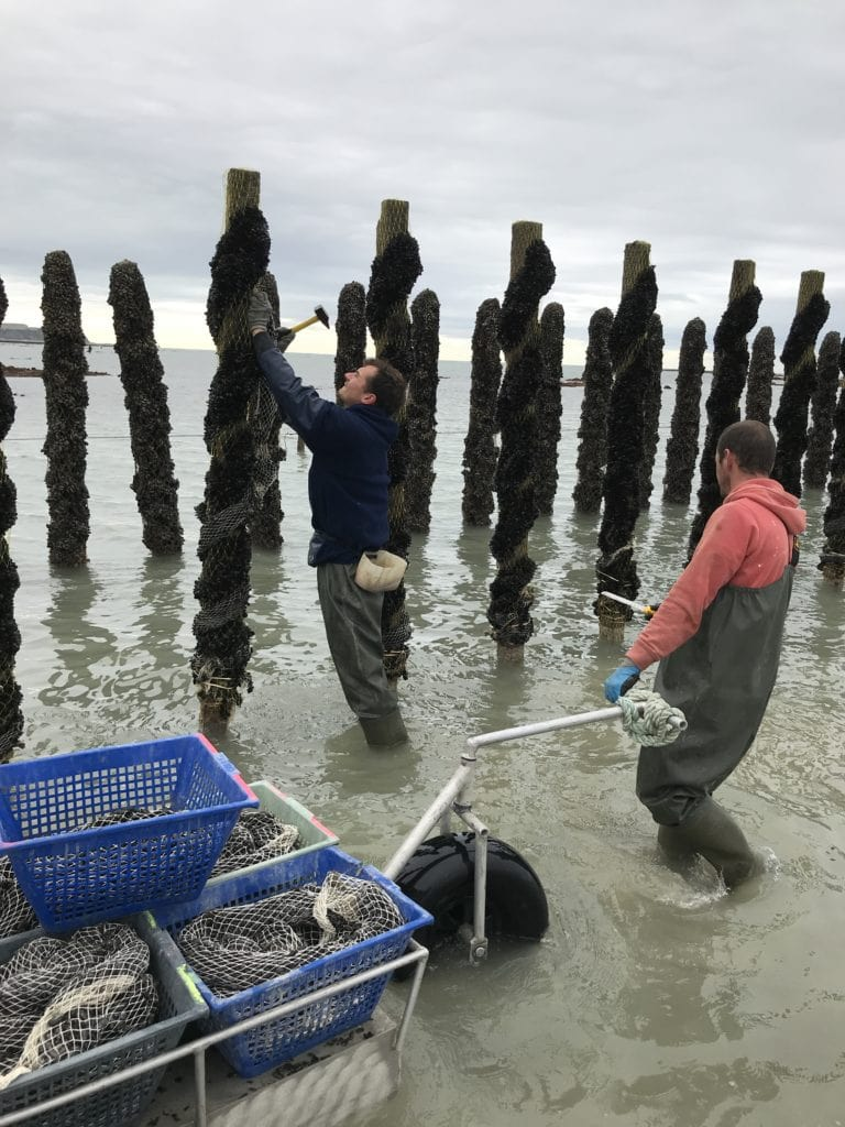 Installation des moules sur les bouchots